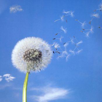 Lighten the load dandelion