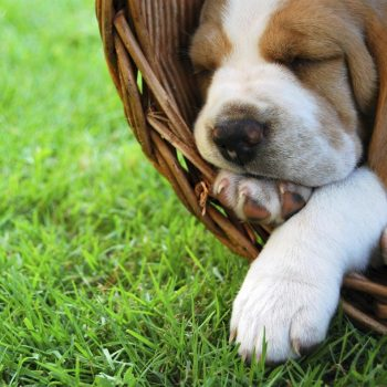Relaxing Beagle puppy